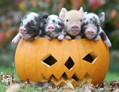 Pocket pigs (© Richard Austin/Rex Features)
