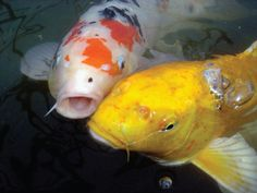 How to care for pond fish