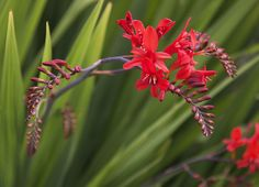 Growing crocosmia flowers in the landscape produces masses of swordshaped foliage and brightly colored blooms. Learning how to plant crocosmia bulbs can give your garden dimension. Plants, Creeping Phlox, Crocosmia, Flower Care, Phlox Plant, Garden Bulbs, Autumn Garden, Trees To Plant, Urban Garden