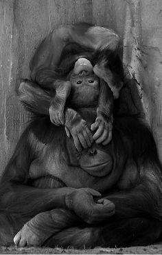 ~~You can't see me! | Orangutan fun! by John More~~
