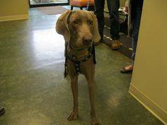 Grady is a Weimaraner puppy, just adopted from the RISPCA here in Providence. Handsome fella!