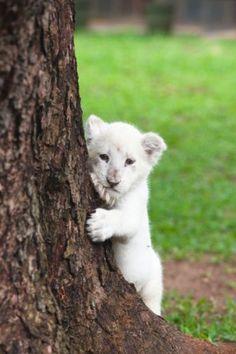 White Lion Cub                                                                                                                                                                                 More