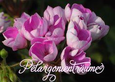 Linnea-Andrea-Tulpenpelargonie in einer ganz wunderbaren Farbe: violett-pink im Blüteninneren und außen wie von Puder bestäubt