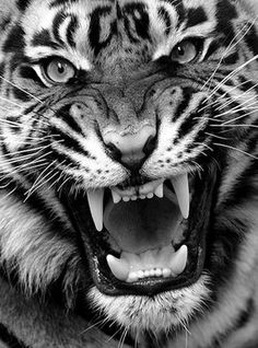 Eye of the tiger.more like teeth of the tiger Beautiful Cats, Animals Beautiful, Stunningly Beautiful, Absolutely Gorgeous, Big Cats, Cats And Kittens, Angry Tiger, Pet Tiger, Bengal Tiger