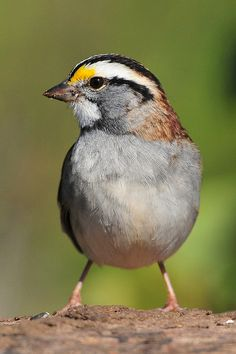 White Throated Sparrow  Photo by Robert  http://honeygirl1946.tumblr.com