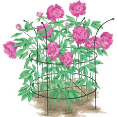 Peony Care |   How to plant and grow peonies, one of the most carefree of all perennials | Adjustable peony support