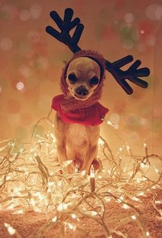 Reindeer Chi surrounded by lights