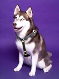 #Luxury #handcrafted #husky #harness Dog Harness, Dog Leash, Husky Kennel, Dog Training Equipment, Dog Muzzle, Dog Games, Police Dogs, Search And Rescue, Dog Supplies