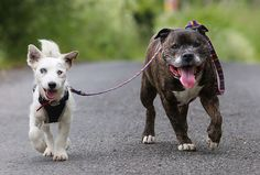 Blind Jack Russell Terrier and his trusty guide #dog are inseparable