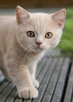 Apricot color cat