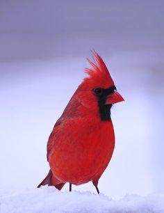 Northern Cardinal - by Cherylorraine Smith