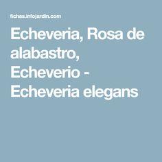 Echeveria, Rosa de alabastro, Echeverio - Echeveria elegans