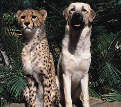 Anatolian Shepherd Dog and Cheetah