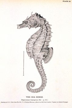 Resultado de imagem para sea animals vintage illustration