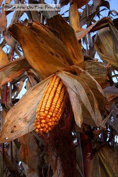 Watch as my hubby brings in the corn harvest.