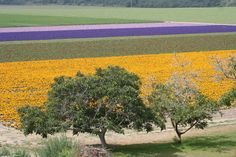 lompoc ca | Lompoc, CA : Lompoc flower field photo, picture, image (California) at ...