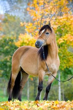 Gorgeous Buckskin colored horse with Autumn leaves.