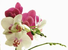 Contrasting combination of colors Phalaenopsis / Orchid.
