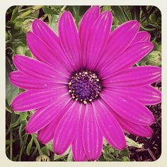 Gerbera daisy from the garden of Judy Stanley