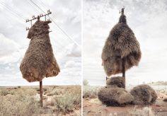 Série de fotos mostra os pássarosque fazem gigantes ninhos coletivos