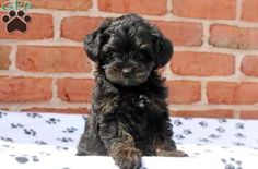 Trish, Yorkie Poo puppy for sale in Manheim, Pa Puppies For Sale, Cute Puppies, Yorkie Poo Puppies, Greenfield Puppies, Family Dogs, Small Dogs, Animals, Little Dogs, Animales