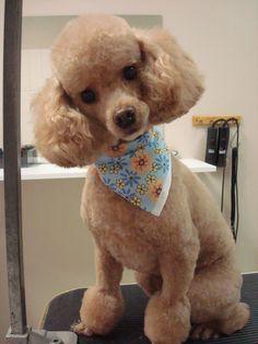 Poodles Stuff, Poodles Ideas, Dogs Poodles, Poodle Cut, Poodles Caniche, Poodles Rule, Poodle Haircut, Pretty Poodle. toy poodle haircuts ...