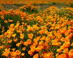 California Gold Photograph Poster Giclee Wild Palmdale Poppies