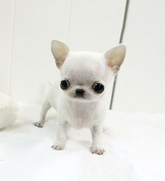 Our teacup chihuahua puppies have been outstanding in the market beuse of apple shape of their head. Apple Head Chihuahua, Chihuahua Puppies For Sale, Baby Chihuahua, Tiny Puppies, Teacup Puppies, Cute Puppies, Cute Dogs, Teacup Pomeranian, Cute Baby Animals