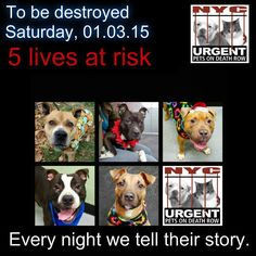 TO BE DESTROYED: 5 beautiful dogs to be euthanized by NYC ACC- SAT. 01/03/15. This is a VERY HIGH KILL shelter group. YOU may be the only hope for these pups! ****PLEASE SHARE EVERYWHERE!!! To rescue a Death Row Dog, Please read this:  http://urgentpetsondeathrow.org/must-read/    To view the full album, please click here:    https://www.facebook.com/media/set/?set=a.611290788883804.1073741851.152876678058553&type=3