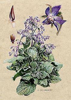 BORRAGINE - Borago officinalis