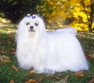 Maltese dogs            Maltese Stats    Country of Origin: Italy  Group: Toy  Use today: Companion  Life Span: 12-14 years  Color: White  Coat: Long, flowing single coat  Grooming: Twice-a-week grooming sessions  Height: No height standards.  Weight: Under 7 pounds, 4 to 6 pounds preferred.    Maltese Profile  Click here...    The Maltese is among the gentlest mannered of all little dogs, and its trust and responsiveness are appealing. Art objects dating back 3,000 years depict…