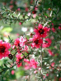 TeaTree Flowers