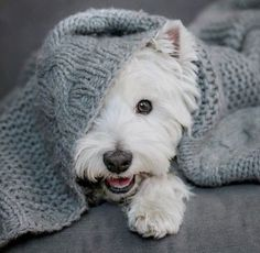 Cutie little Westie puppy hiding under cosy blanket Westies, Westie Puppies, Cute Puppies, Dogs And Puppies, Doggies, Chihuahua Dogs, Bichons, West Highland Terrier, Terriers