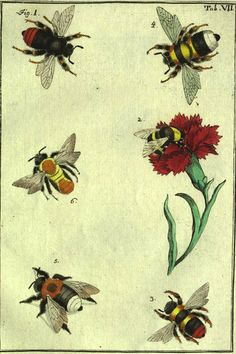 Excellent Toddler Shower Centerpiece Tips Hand Colored Plate From Natuurlyke Historie Der Insecten With Six Bees, C. Carnation Tattoo, Sibylla Merian, Garden Of Earthly Delights, Bees Knees, Carnations, Botanical Prints, Hand Coloring, Natural History, Vintage Images
