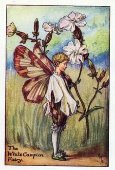 Cicely Mary Barker ~ The White Campion Fairy