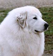 GREAT PRYNESS DOG PHOTO | Great Pyrenees Dogs - General Information Links Big Baby, How Big Is Baby, Top Dog Breeds, Great Pyrenees Dog, Samoyed, Gentle Giant, White Dogs, Dog Show, Mountain Dogs