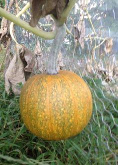 How to grow pumpkins: 7 tips - Farm and Dairy Grow Pumpkins, Planting Pumpkins, Pumpkin Vine, Vines, Dairy, Bloom, Garden Ideas, Plants, Gardening