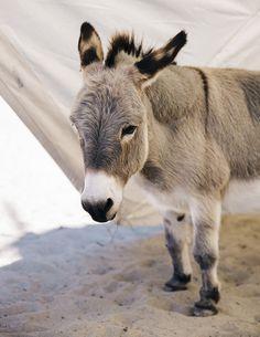 miniature donkey....