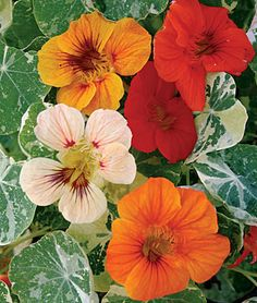Alaska Mix Nasturtium - Gold, orange, salmon and mahogany flowers arise from compact plants with attractive variegated foliage. Flowers and tender young leaves add color and a peppery zip to salads. Organic Gardening, Gardening Tips, Vegetable Gardening, Gardening Supplies, Squash Plant, Squash Bugs, Alaska, Annual Flowers, Edible Flowers