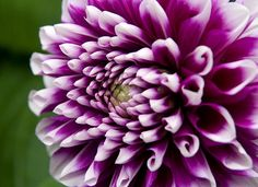 Purple and White Dahlia- Chatsworth House Gardens, Derbyshire- Theresa Elvin