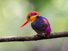 image source The Oriental dwarf kingfisher (Ceyx erithaca) also known as the black-backed kingfisher or three-toed kingfisher is a species of bird in the Alcedinidae family. This is a small, red and yellow kingfisher,. Beautiful Birds, Animals Beautiful, Cute Animals, Beautiful Wife, Funny Animals, Oriental, All Nature, All Gods Creatures, Colorful Birds