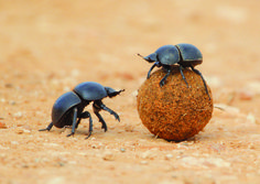 How dung beetles are guided by the Milky Way | AnimalAnswers.co.uk - Everything you need to know about your favourite animals!