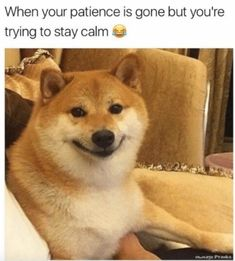 We're Dying Laughing At These 20 Doggo Memes - World's largest collection of cat memes and other animals Funny Animal Memes, Dog Memes, Cute Funny Animals, Funny Dogs, Cute Dogs, Funny Memes, Shiba Inu, Chien Akita Inu, Perro Labrador Retriever