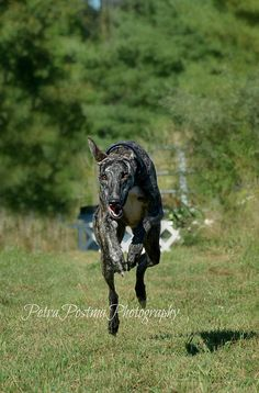 Greyhound running, an awesome site