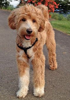 Joey the Labradoodle -- Dog Breed: Labrador Retriever / Poodle Goldendoodle Haircuts, Goldendoodle Grooming, Dog Grooming, Labradoodle Dog, Standard Goldendoodle, Dog Haircuts, Maltipoo, Labradoodle Pictures, Poodle Cross Breeds