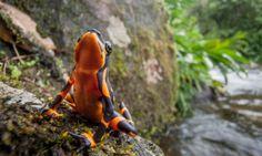 """Em 2010, Robin Moore embarcou numa expedição para fotografar os anfíbios mais raros do mundo. O resultado pode ser visto em """"In Search of Lost Frogs"""", um l"""