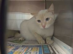 Petango.com – Meet Buford, a 2 years Domestic Shorthair / Mix available for adoption in TAMPA, FL