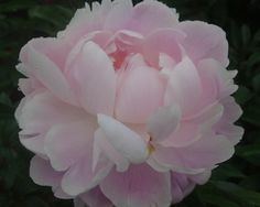 Mrs. Franklin D. Roosevelt - Midseason Lactiflora, light pink, double, fragrant, a soft shell pink with incurved petals in rose form, the size, color and form combine to make this a most attractive flower, American Peony Society Best in Show - Grand Champion 1984 and American Peony Society Gold Medal winner 1948, (Franklin, 1932). www.peonyshop.com