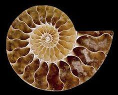 ammonite fossil - Google Search