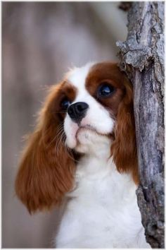 Top 10 Cutest Dog Breeds #7 | News, Facts & Other Information You Love - UncoverDiscover.com This is the Cavalier King Charles Spaniel. He is beautiful.